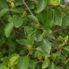 Picture of Betula Ermanii
