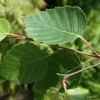 Picture of Betula Jacquemontii