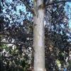 Picture of Betula Pendula Black Prince