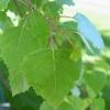 Picture of Betula Pendula