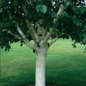 Picture of Betula Silver Shadow