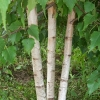 Picture of Betula White Spire