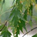Picture of Betula pendula Laciniata