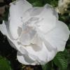 Picture of Blanc Double De Coubert Std 80cm-Rose