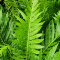 Picture of Blechnum Silver Lady
