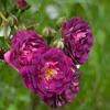 Picture of Bleu Magenta Clg-Rose