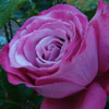 Picture of Blue River-Rose