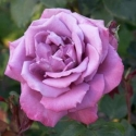 Picture of Blue Sky-Rose