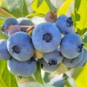 Picture of Blueberry Rahi