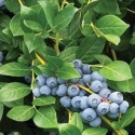 Picture of Blueberry Reka NH