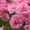 Picture of Bonica-Rose