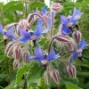 Picture of Borago Officinalis