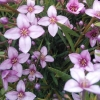 Picture of Boronia Denticulata
