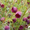 Picture of Boronia Purple Jarad