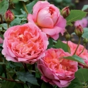 Picture of Boscobel Std 80cm-Rose