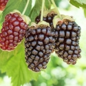 Picture of Boysenberry Starlight