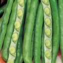Picture of Broad Beans Evergreen