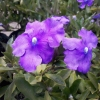 Picture of Brunfelsia Eximea