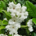 Picture of Brunfelsia White Caps