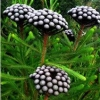 Picture of Brunia Albiflora