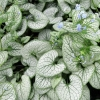 Picture of Brunnera Silver Heart