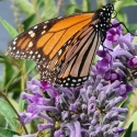 Picture of Buddleia Leyana