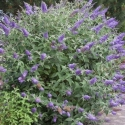 Picture of Buddleia Lochinch