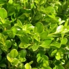 Picture of Buxus Green Gem