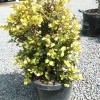 Picture of Buxus Macrophylla Ball