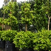 Picture of Buxus Macrophylla Two Tier
