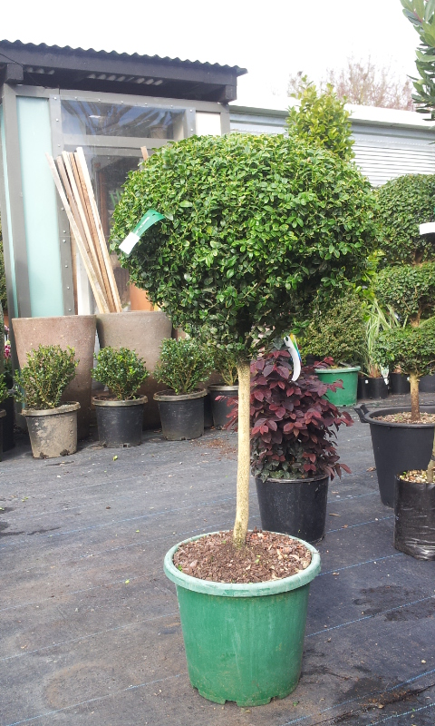 Picture of Buxus Sempervirens 1 Ball Std