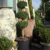 Picture of Buxus Sempervirens 3 Ball Std