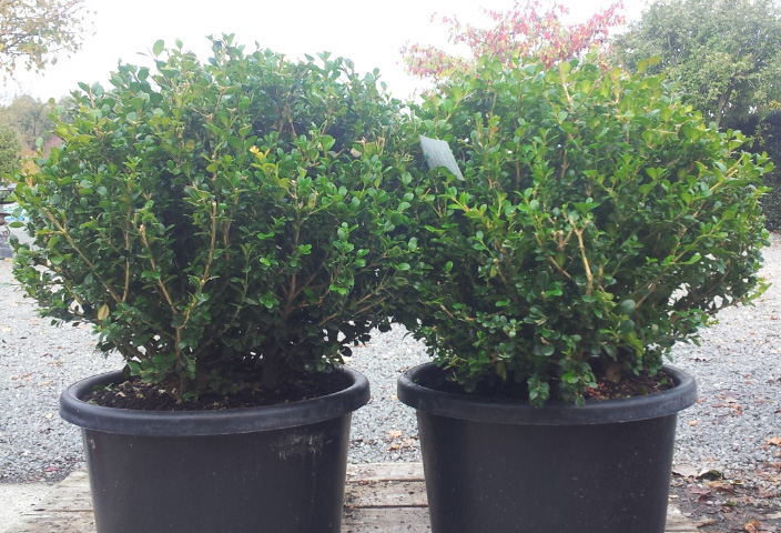 Picture of Buxus Sempervirens Balls