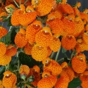 Picture of Calceolaria Sunny Walker Orange