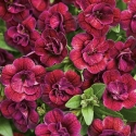 Picture of Calibrachoa Double Plum