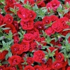 Picture of Calibrachoa Double Ruby