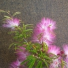 Picture of Calliandra Blushing Pixie