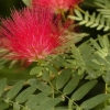 Picture of Calliandra Red Fire