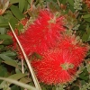 Picture of Callistemon Captain Cook