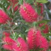 Picture of Callistemon Hot Pink