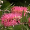 Picture of Callistemon John Mashlan