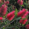 Picture of Callistemon Western Glory