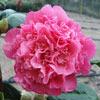Picture of Camellia Anticipation