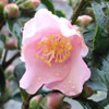 Picture of Camellia Baby Bear