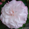 Picture of Camellia Baby Pearl