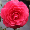 Picture of Camellia Black Lace