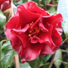 Picture of Camellia Black Magic