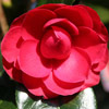 Picture of Camellia Black Tie