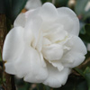 Picture of Camellia Blondy