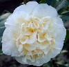 Picture of Camellia Brushfields Yellow
